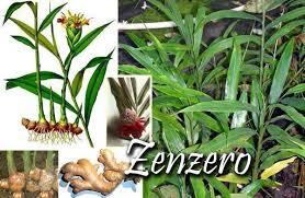Radice di Zenzero: rimedio naturale contro le malattie da raffreddamento